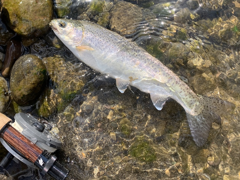 石狩川上流で釣れた30cmちょいのニジマス